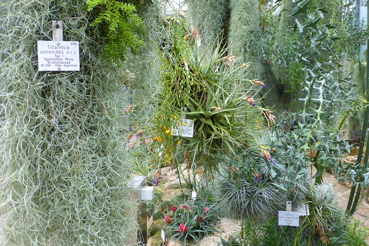 Botanischer Garten der Universität Tübingen Tillandsien